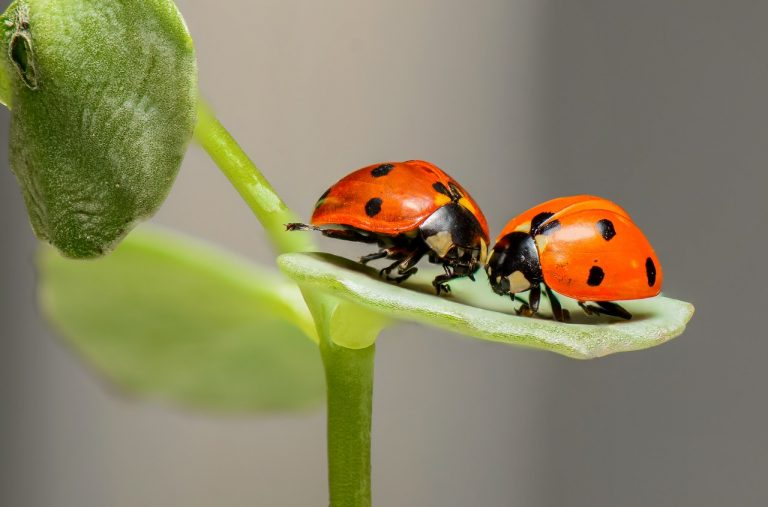ladybugs on a leaf