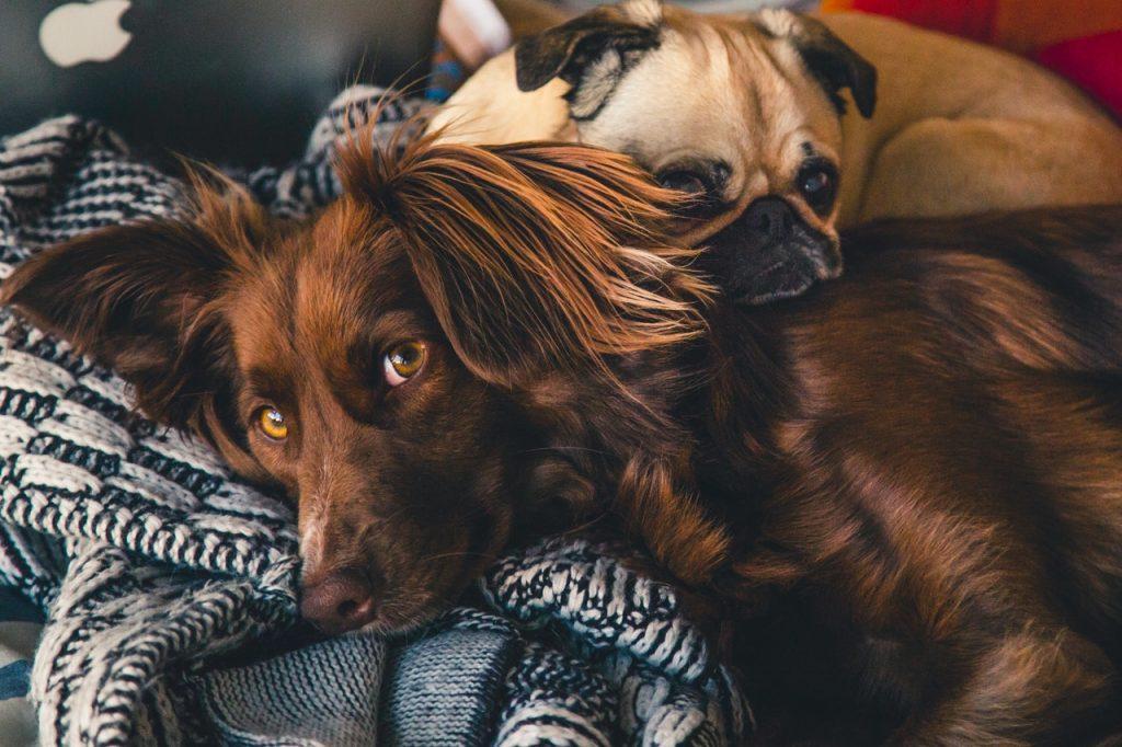 2 dogs cuddling on sofa